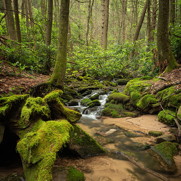 Mossy babbling mountain stream in a rhodendron thicket